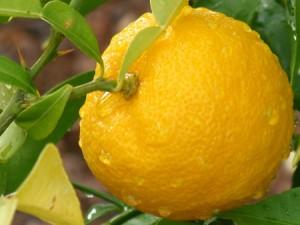 Le yuzu un agrume riche en antioxydants naturels puissants